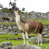 Llamas in the Inca city, Machu Picchu, Peru