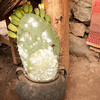 White Cochineal insects found on prickly pear cactus, Chinchero, Peru