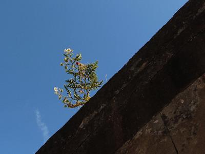 Solanum spec.? (La Recoleta Cemetery, located in the Recoleta neighbourhood of Buenos Aires.)