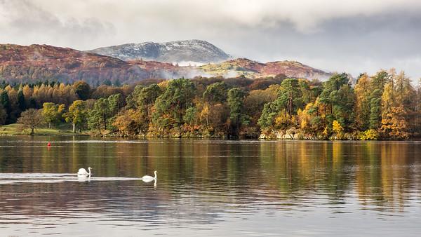 Swans on #Windermere lake