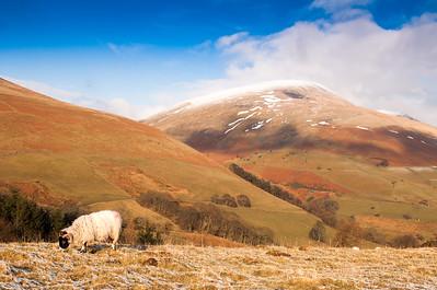 Sheep under Blencathra mountain