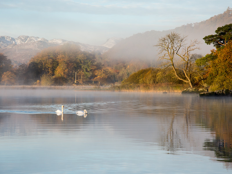 Swans on #Windermere #LakeDistrict