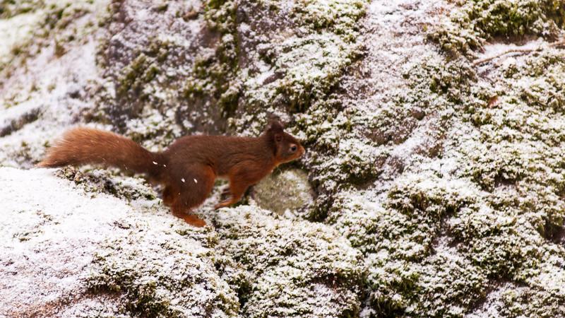 Cumbrian red squirrel