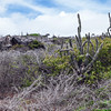 Cactus at the National Christoffel Park in Curacao.