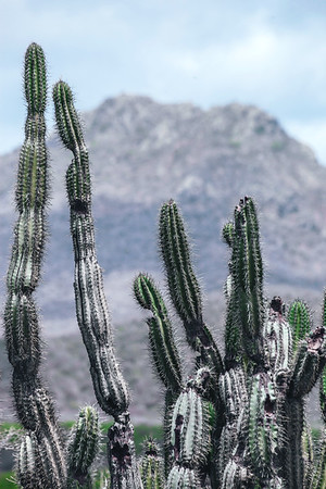 Cactus with Mount Christoffel in the background at the National Christoffel Park in Curacao.