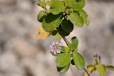 Blooming lantana