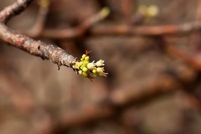 Takamahak (Bursera tomentosa), flower