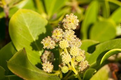 Conocarpus erecta