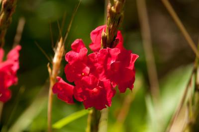 Raspa cora (Stachytarpheta Boldinghii)