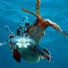 Caribbean reef squids (Sepioteuthis sepioidea)