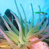 Giant anemone (Condylactis gigantea)
