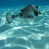 Smooth trunkfish (Lactophrys triqueter) in shallow water