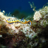 Purple crowned sea goddess (Mexichromis kempfi)