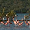 Caribbean flamingos (Phoenicopterus ruber), Jan Kok saliña