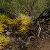Bromelia lasiantha, Christoffel Park