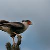 Crested caracara (Caracara cheriway), Christoffel Park