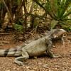 Green iguana (Iguana iguana), Christoffel Park