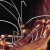 Banded coral shrimp ( Stenopus hispidus)
