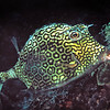 Honeycomb cowfish (Acanthostracion polygons)