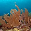 Common sea fan (Gorgonian ventalina)