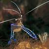 Pederson cleaner shrimp (Ancylomenes pedersoni)