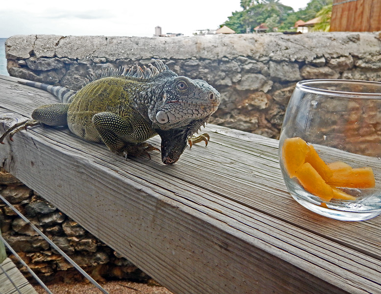 This is one of the iguanas that repeatedly attacked me.  See video.