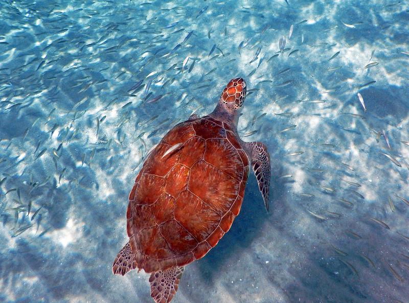 Turtle among fish