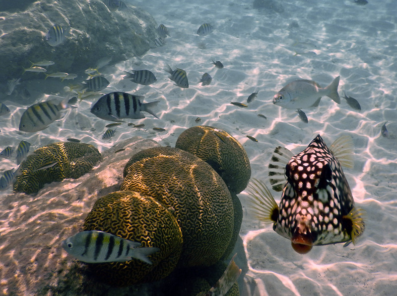 Spotted Trunkfish with Brain Coral