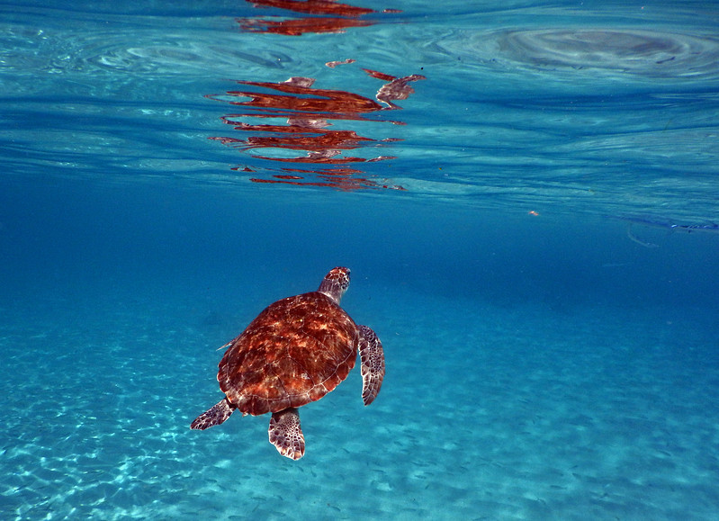Turtles have to surface for air every once in a while