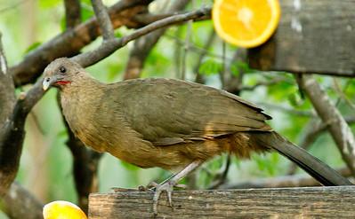 Plain Chachalaca  Santa Ana NWR Texas 2012 03 22-2509.CR2