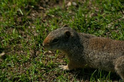 Utah Rodent