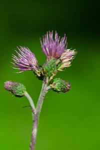 Bursting thistle buds
