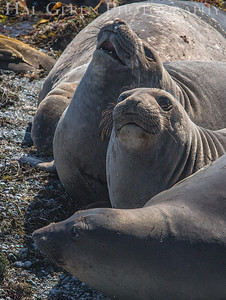 Elephant Seals San Simon, California 1503BS-ES5