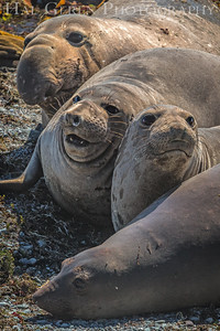 201503 Big Sur - Elephant Seals 7