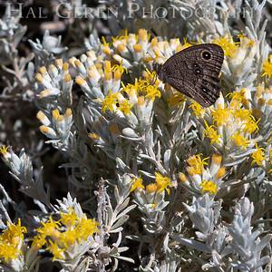 Butterfly in Desert Flowers 1907S-B4
