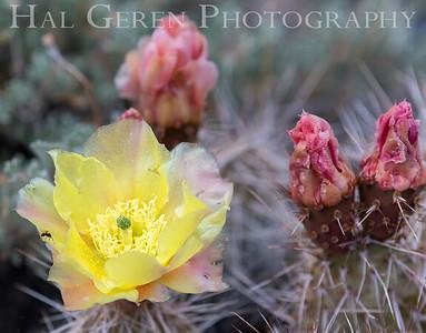Desert Flowers w Ant 1907S-F6WA