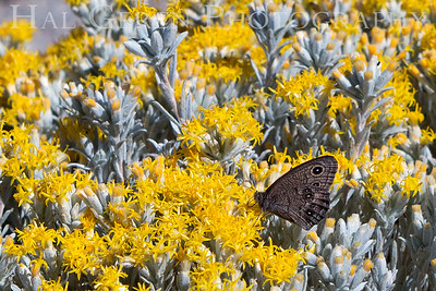 201907 Sierra - Butterfly 1