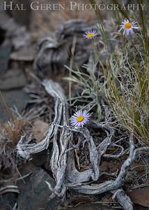 Desert Flowers 1907S-F4