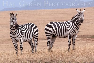Zebras San Simeon, California 1305C-Z3