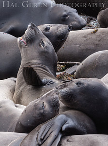 Elephant Seals San Simeon, California 1305C-ES1