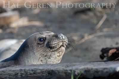 Seal Point Reyes 1903C-S2
