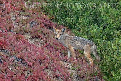 Coyote in Iceplant Devils Slide, CA 1903C-C1