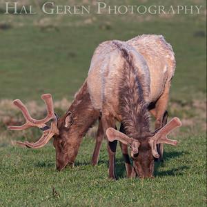 Tule Elk Point Reyes 1903C-TE4G2