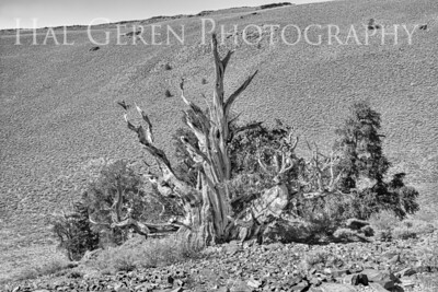 Bristlecone Pine Big Pine, CA 202010S1-BP1B1
