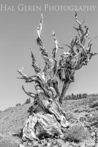 Bristlecone Pine Big Pine, CA 202010S1-BPH6B1