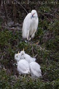 Snowy Egret Fledglings and Parent Newark, California 1405N-SE14
