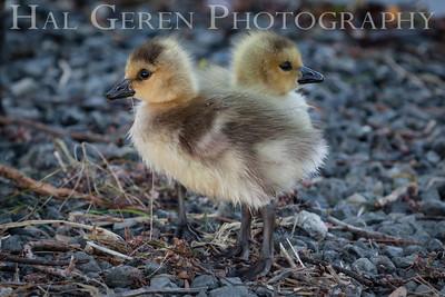 Ducklings Newark, California 1405N-D6