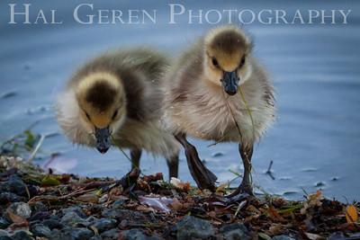 Ducklings Newark, California 1405N-D4