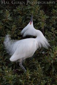 Snowy Egret Male Displaying for a Female Newark, California 1405N-SE4