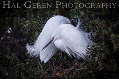 Snowy Egret Fledglings Newark, California 1405N-SE7